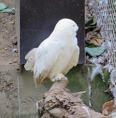 IMG_5277 (jaglazier) Tags: 2016 91416 animals bielefeld bielefeldzoo birds copyright2016jamesaglazier germany owls september teutoburg teutoburgforest teutoburgerwald zoos parks nordrheinwestfalen