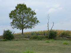 Battle of Sharpsburg 154th Anniversary (Photo Squirrel) Tags: cornfield corn thebloodycornfield civilwar antietam sharpsburg fence fenceline