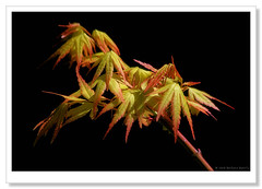 Japanese Maple-7960 (Barbara J H) Tags: japanesemaple leaves yabbasprings imbil qld australia barbarajh