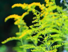Goldenrod ! (Reid2008) Tags: goldenrod solidago plant golden rubber