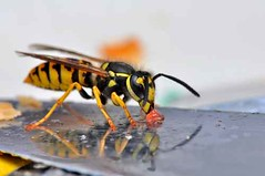 Pests Flying Insects (British_Pest_Control_Association) Tags: wasp bee eat danger yellow jelly insect macro closeup red black sting candy vespula vespulagermanica vulgaris compoundeye knife antenna feeler