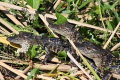 Everglades baby alligators (Bethy333) Tags: babies alligator everglades