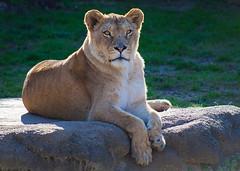 Lioness (@KevinCase) Tags: lion bigcat lioness animalplanet kevdia kevdiaphotography kevincase