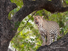 She Cat3 (kandace109) Tags: wildlife stock leopard botswana bigcats endangeredspecies stockphotography pantherapardus africanwildlife maun dangerousanimals solitaryanimal leopardintree texasphotographer wildflowerphotography nocturnalpredator stocknaturephotography kandaceheimerphotography kandaceheimerunderwaterphotography kandfotocomphotography femalleopard carnivoriouscat stockafricanphotography stockafricanwildlifephotogra kandaceheimerunderwaterphoto stockafricanwildlifephotography