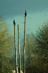 Cormorants (CleanCletus) Tags: bird oregon cormorant forestgrove fernhillwetlands
