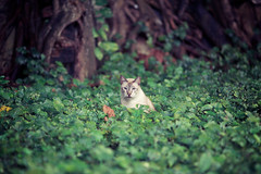 Cat Nest (Jon Siegel) Tags: forest cat nikon singapore nest wildlife secret mysterious tropical neko nikkor hiding sneaky ai singaporean wildbeast 135mm28 135mmf28ai