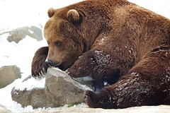 Kamchatka brown bear (generalstussner) Tags: bear brown snow playing ice nature animal stone canon big 600mm ef300mmf28lisusm kamchatkabrownbear