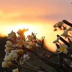 Good morning day of love ✨✨Different  kinds of  love. ดอกไม้ต้นนี้มองแล้วสวยทุกคร้ัง ไม่ว่าจะเวลาไหนก็ทำให้สวนที่คอนโดมีชีวิตชีวา.   บางครั้งก็เปรียบกับความรักที่หลายคนบอกว่าทุกข์ แต่ถ้าเรามองในแง่ที่ว่าสุขก็ไม่มีใครห้าม.  เหมือนกับชื่อดอกไม้นี้ ลีลาวดี ก