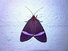 00221 (dotun55) Tags: toxic insect moth lepidoptera arctiidae defense aposematic caryatisphileta