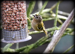 Goldcrest (Ally.Kemp) Tags: bird birds wildlife feeder blackisle goldcrest avoch garedn