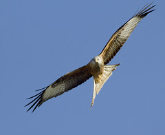Red kite (Alchimi) Tags: birds wales redkite gigrinfarm