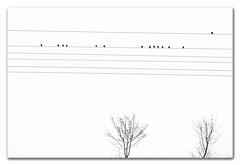 De Estorninos 2 (Chencho García) Tags: naturaleza birds nikon aves bn cables árbol lineas albacete pentagrama estorninos d3100