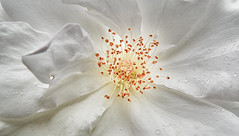 Diversion! (WelshPixie) Tags: white flower macro rose droplets petals stamen pollen dogrose