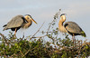 Choosing the Perfect Home Site (**El-Len**) Tags: us usa florida venice mangrove greatblueheron ardeaherodias bird heron pair nest gbh fav10 explore fav25 andromeda50 fav50