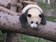 IMG_2356 (crismaso) Tags: chengdu pandas 2013