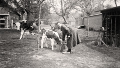 bosnormand  1932 (lem's) Tags: 1932 cow farm normandie farmer normandy ferme fernand veau fermiere bosnormand burgot