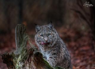 Lakota Wolf Preserve Bobcat