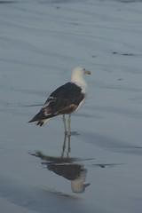 5 (Dwarskerser) Tags: seagull sa van weskus seemeeu dwarskersbos westcoastofsa