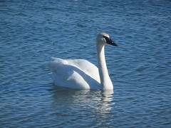 Trumpeter Swan Photo