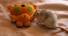 Tyrande noses at old teddy (Scratchblack) Tags: pet cute animal toys rat noses husdjur oldtoys tyrande gnagare