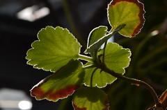Lichtkranz (deta k) Tags: macro berlin germany deutschland flora natur pflanzen sooc botanischergartenberlin nikond5100