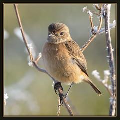 Stonechat (f) (Full Moon Images) Tags: bird nature female wildlife lakes reserve fen cambridgeshire drayton rspb stonechat fendrayton