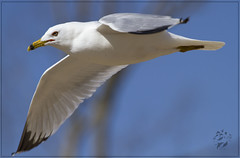 Can I have your French Fry? (1Snowboarder) Tags: sky bird canon fly seagull princewilliamcounty 100400