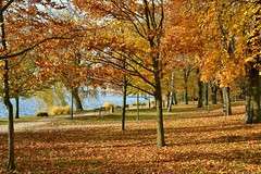 Park im Herbst (ThomasKohler) Tags: park autumn tree bird fall nature leaves animal leaf swan laub herbst natur schwan baum tier mecklenburg seenplatte laubblatt mecklenburgischeseenplatte