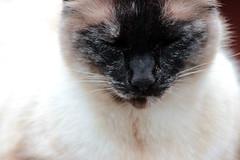 Jasper | God Bless Kindness (donnazoll) Tags: ocean beach cat friend feline jasper kitty meow visitor secretgarden patience dz 2013 tortiesiamese donnazoll
