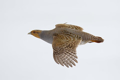 Grey Partridge - Perdix perdix - Flying - Flight (Paul B Jones) Tags: bird nature flying wildlife ottawa flight hun greypartridge perdixperdix hungarianpartridge canonef800mmf56lisusmlens