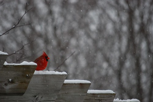 My beautiful red Cardinal in one of our bad Winter Storms.