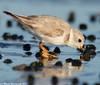 Feeding plover (v4vodka) Tags: bird nature animal wildlife birding longisland birdwatching plover pipingplover charadriusmelodus westmeadowbeach pipingploverchick sieweczka siewka