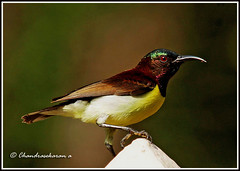 2971 - sunbird (chandrasekaran a 546k + views .Thanks to visits) Tags: india nature birds handheld chennai sunbird tamron200500mm purplerumped canon60d blinkagain