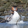 G.C.Grebe Mating 2 (http://deniseagling.photography) Tags: birds places grebe carrmill dancemating greberail weeddancemating