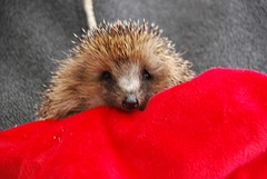 CNV00031 (vr6woman) Tags: hedgehog hedgie muchwenlock cuanhouse