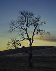 Lonely tree, flowing free. (H.Robertson) Tags: sunset tree britishcolumbia bluesky rollinghills merritt nicolavalley bccanada heathrobertson lundbomlake 18105mmvr nikond7000 lundbomcommonage