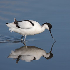 Avocet (alison brown 35 trying to get back) Tags: uk wild reflection bird ex nature water canon march spring wildlife ngc sigma npc 500mm southport wading merseyside avocet rspb wader marshside 2013 40d
