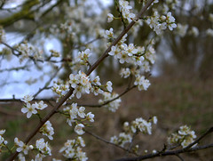 At long last - blossom (Maggie @ Abingdon) Tags: flowers spring blossom radleylakes thrupplake earthtrust