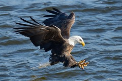 American Bald Eagle [3740] (cl.lin) Tags: bird weather birds mississippi nikon midwest eagle wildlife birding sigma iowa mississippiriver eagles climatechange globalwarming americanbaldeagle universityofiowa birdinflight d600 leclaire jamesbalog avianexcellence lockanddam14 ld14 chasingice