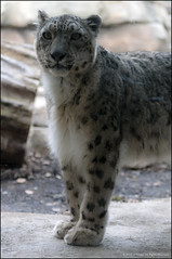 Introducing Genghis! (jfelege) Tags: snow animal animals zoo leopard milwaukee animalplanet snowleopard mke unciauncia zooanimals genghis zooanimal animalportrait milwaukeezoo milwaukeewisconsin milwaukeecountyzoo pantherauncia mcz zoosofnorthamerica zoopass flickrbigcats zoosinwisconsin zooinwisconsin