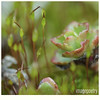 015 (imagepoetry) Tags: macro green garden moss succulent sigma april 105mm a65 imagepoetry 2013 sonyalpha