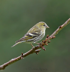 Siskin (Donna Apsey - http://donnaapsey.zenfolio.com/) Tags: pictures wild tree bird nature beautiful birds yellow female eyes graphics branch graphic little wildlife small birding wing beak feathers picture feather images finch stockphotos perched ornithology birdwatching songbird siskin stockimage stockphotographs siskins stockphotograph springbirds royaltyfreephoto