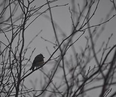 bird in branches (terichandler55) Tags: winter tree bird gray overcast titmouse tufted