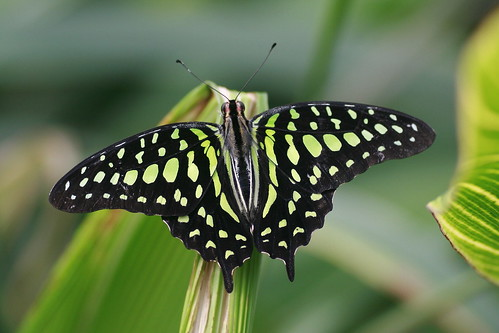 WoW Beauty of the Day (Tailed Jay)