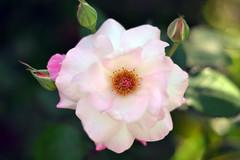 DSC_2559 (Davd Gonzlez) Tags: pink white flower green 50mm nikon pretty f18 d3100