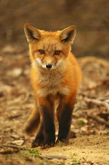 Red Alert (S. J. Coates Images) Tags: red ontario kingston fox marshlands