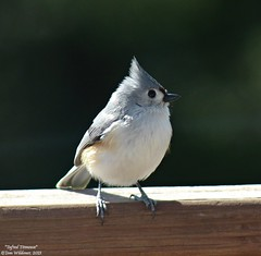 Tufted Titmouse (LeisurelyScientist.com) Tags: bird nature canon outdoors spring pennsylvania feeder environment titmouse tufted tuftedtitmouse bicolor weatherly birdfeeding carboncounty baeolophus tomwildoner