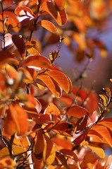 autumn (again) (Seakayem) Tags: red leaves bokeh sony canberra 135 pentacon f28 slt a55