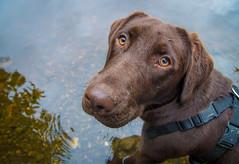 Holly (Rob Hurson) Tags: chocolatelabrador labrador puppy dog river pentaxk30 pentax meath ireland summer riverboyne