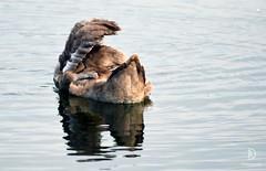 Older Cygnet of Mute Swan (kaprysnamorela) Tags: cygnusolor cygnet muteswan swan lake ontario oakville canada